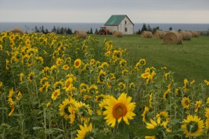 PEI sunflower field card (2)